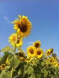 Solros flora3 Royaltyfri Foto