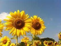 Solros flora3 Arkivbild