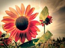 Solros i apelsin Royaltyfri Bild