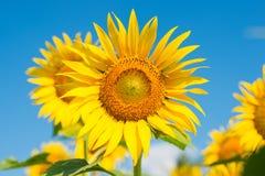Solros i blåttskycloseupen Royaltyfri Foto