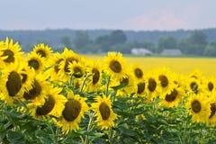 Solros i en fältsommar och ett oljabegrepp Fotografering för Bildbyråer