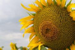 Solros i ett stort fält Royaltyfria Bilder