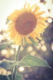 Solros i fält Arkivfoto