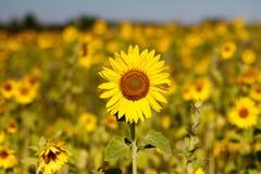 Solros i fältet Arkivbild