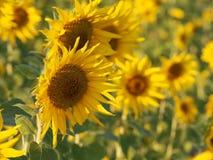 Solros i fältet Arkivfoton