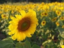 Solros i fältet Arkivfoto