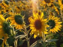 Solros i fältet Royaltyfria Bilder