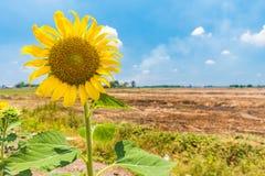 Solros i fältet i sommaren Arkivbilder