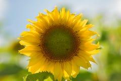 Solros i fältet Närbild swallowtail för sommar för fjärilsdaggräs solig Arkivfoton