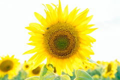 Solros i hög anmärkning Fotografering för Bildbyråer