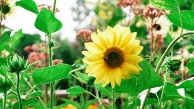 Solros i trädgården - härlig blomma royaltyfri foto