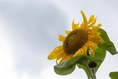 Solros med biet Fotografering för Bildbyråer