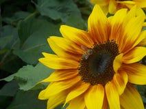 Solros med biet arkivfoto