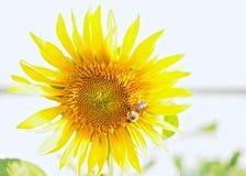 Solros med det upptagna biet fotografering för bildbyråer