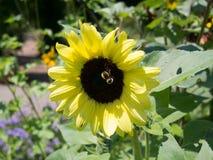 Solros med ett bi Arkivfoton