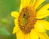 Solros med ett bi Arkivbilder