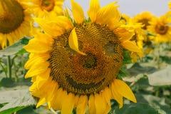 Solros med ett leende Sinnesrörelser på solrosen Ett leende av solrosen Royaltyfri Bild