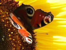 Solros med fjärilen Royaltyfria Bilder