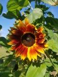 Solros med härliga färger royaltyfri bild