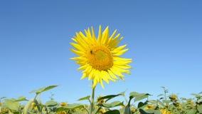 Solros med kryp på blå himmel i den soliga dagen, solig miljö stock video