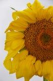 Solros med myror Royaltyfria Foton