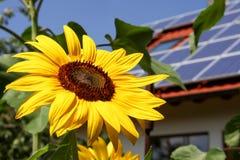 Solros med sol- bakgrund arkivfoton