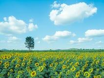 Solros med solrosfältet och blå himmel Arkivfoton