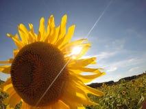 Solros mot blå himmel med solstrålen Royaltyfria Bilder