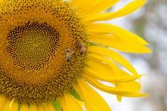 Solros och bi i trädgård Arkivbild