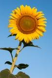 Solros och bi mot blå himmel Arkivbild