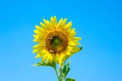 Solros och bin Arkivfoton