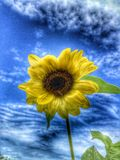 Solros och en blå himmel Arkivfoto