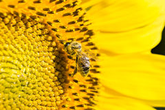 Solros och ett bi Arkivfoto