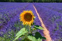 Solros och ett lavendelfält, en Provence & en x28; France& x29; Royaltyfri Fotografi