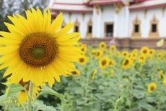 Solros- och tempelbakgrund Royaltyfri Fotografi