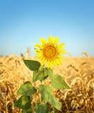 Solros- och vetefält Royaltyfri Bild