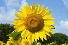 Solros på bakgrund för blå himmel på en solig dag Royaltyfri Foto