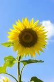 Solros på bakgrund för blå himmel på en solig dag Fotografering för Bildbyråer