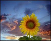 Solros på dramatisk himmel arkivbild