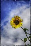 Solros på en bakgrund för blå himmel i hösten Royaltyfri Bild