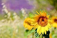Solros på ett lavendelfält arkivbilder