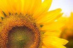 Solros på fält av solrosor med biet royaltyfria bilder