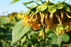 Solros på fältet slutligen av sommar Åkerbruk växt royaltyfri bild