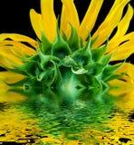 Solros reflekterad i vattenyttersida Royaltyfri Foto