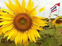 Solros som blommar i Thailand Arkivfoto
