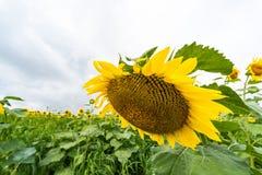 Solros som framme blommar av solrosfält arkivbild