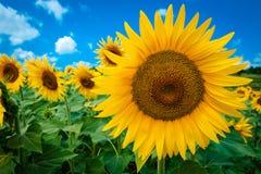 Solros som isoleras i fält med blå himmel royaltyfri foto