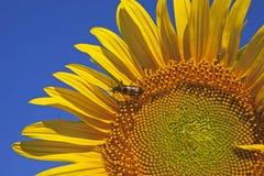Solros som isoleras mot blå himmel fotografering för bildbyråer