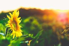 Solros som söker efter solljuset i morgonen