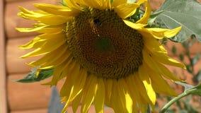 Solros som svänger i vinden arkivfilmer